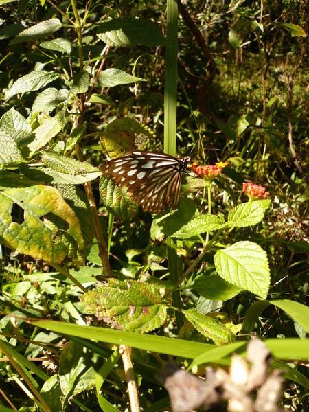 這邊的蝴蝶很大隻喔!