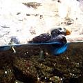極區海鸚鵡