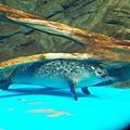 極區斑式海豹
