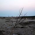 遺留在沙灘上的海樹枯枝