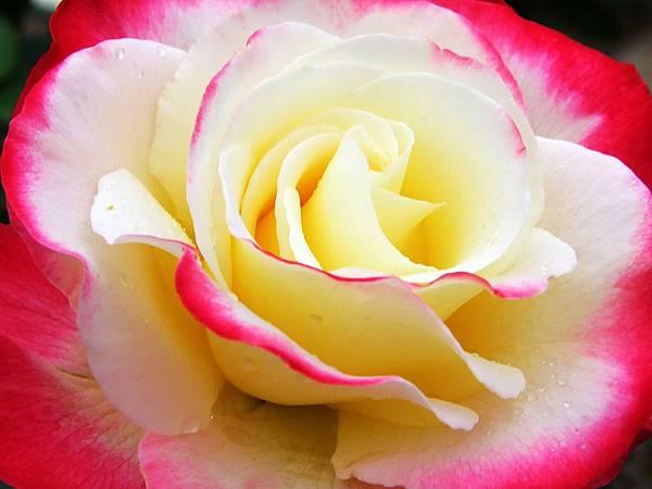 層層捲捲的玫瑰