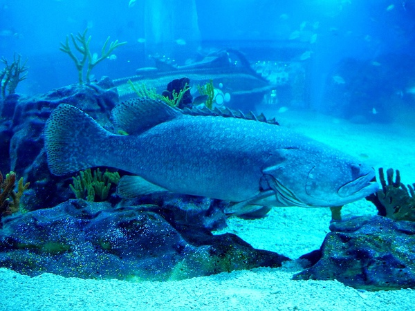 好大的石斑魚