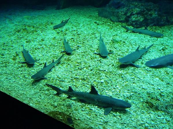 一度讓我以為是假模型的鯊魚