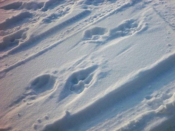 雪地上的東北虎腳印