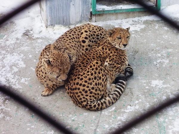 獵豹,我在想~獵豹有再那麼冷的環境下生活嗎?