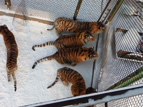 剛看到這三隻東北虎的動作笑了出來