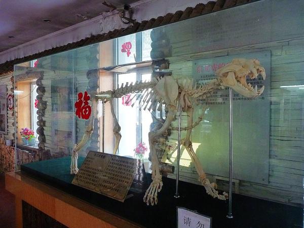 東北虎的骨骼