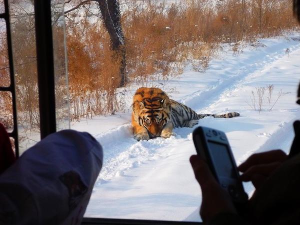 這隻東北虎好害羞喔