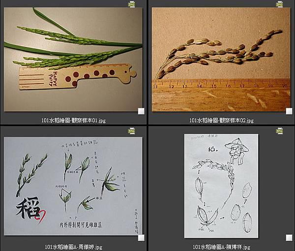 101水稻繪圖-01