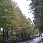 雨中的石碇-落羽松 (2).jpg