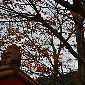 石碇冬天-楓紅 (4).jpg