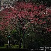 新北市-石碇櫻花北47 (30).jpg