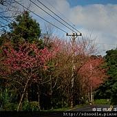 新北市-石碇櫻花北47.jpg