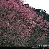 新北市-石碇櫻花-北47-1 (24).jpg