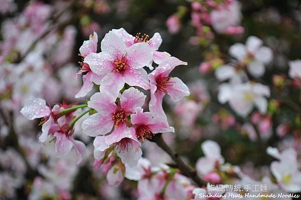 淡水天元宮櫻花 (104)