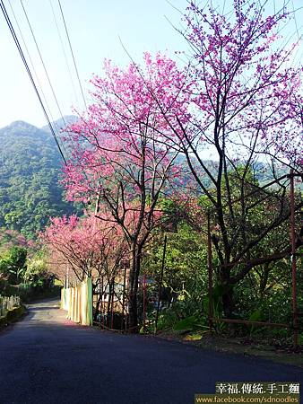 石碇櫻花-嘗櫻30204_085345