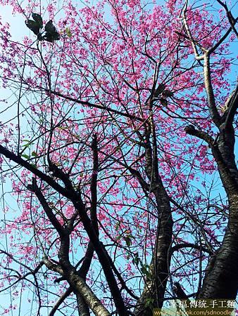 石碇櫻花-嘗櫻20130204_085445