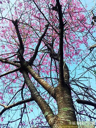 石碇櫻花-嘗櫻