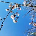 石碇天明宮-吉野櫻/新北市石碇