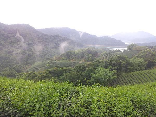 石碇千鳥湖八卦茶園