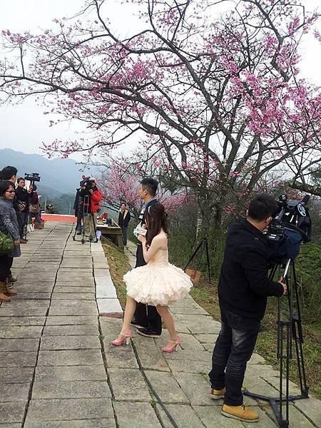 新北櫻花季 石碇小格頭苗圃/櫻花小旅行記者會