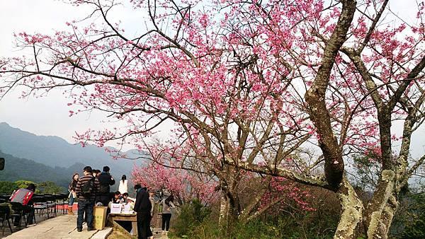 新北櫻花季,石碇苗圃,櫻花小旅行記者會