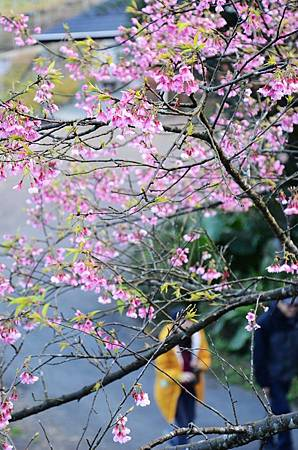 櫻花小旅行 石碇苗圃櫻花