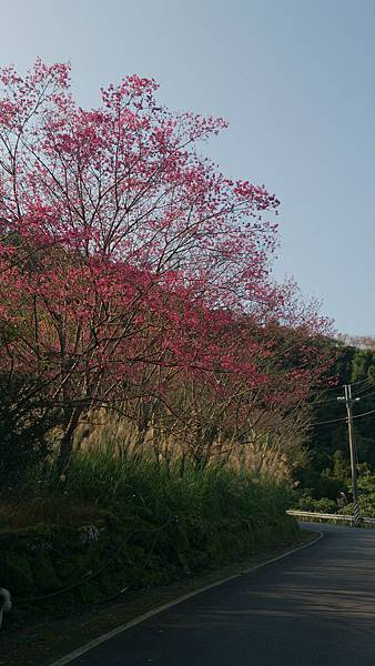 麵線工廠附近的櫻花