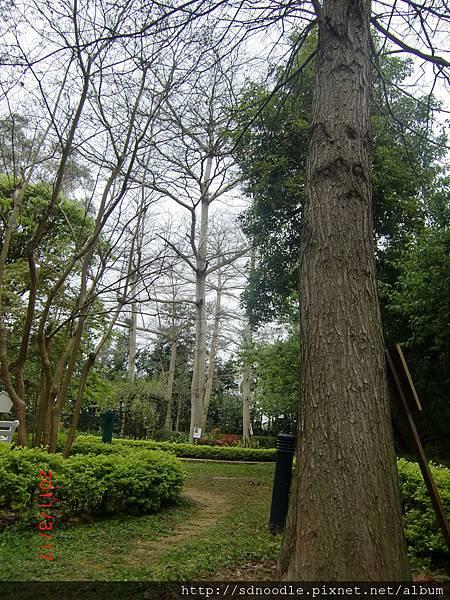 千樺咖啡樹.JPG