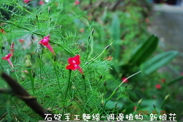 石碇麵線-週邊植物 新娘花