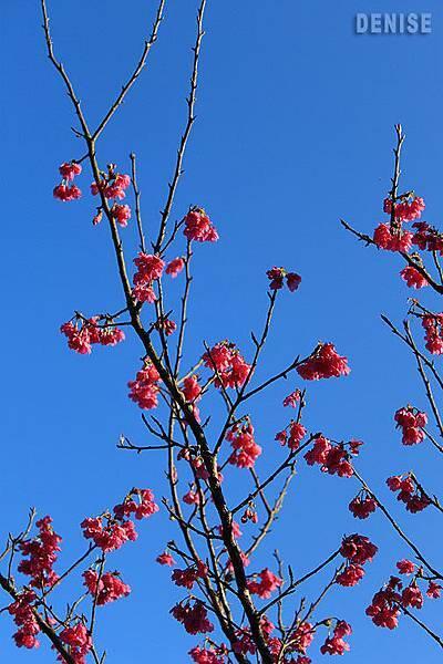 IMG_8871.jpg  農場內山櫻花開了