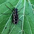 虎甲蟲.jpg