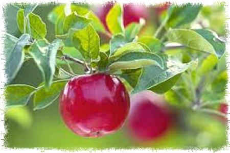 食材營養講座 – 蘋果 / りんご / Apple