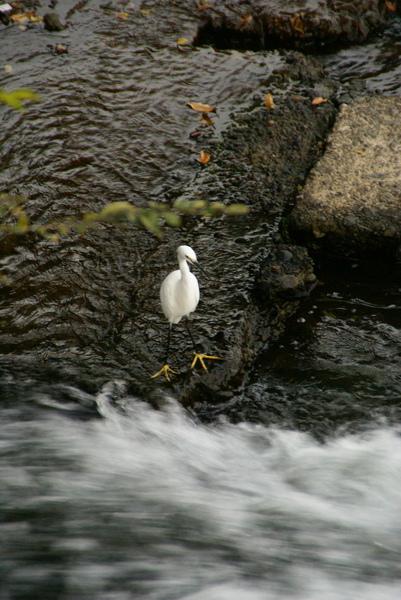 桂川河堤上白鷺鷥逗趣模樣