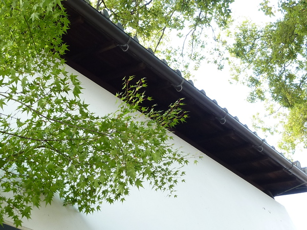 谷口旅館的楓樹