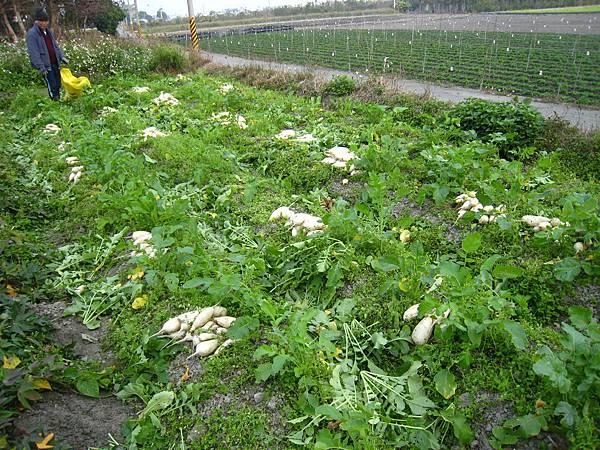 豐收白蘿蔔