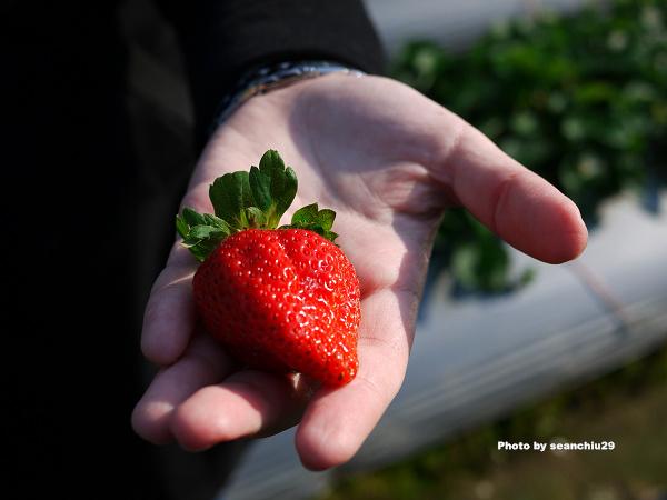 順路來草莓園05.jpg