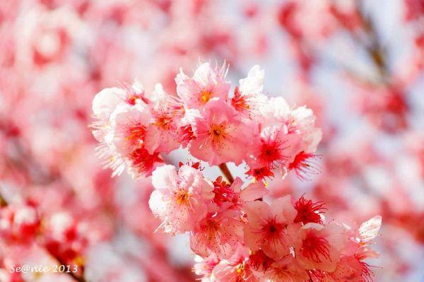 武陵櫻花4
