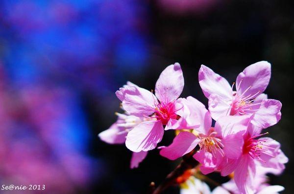 武陵櫻花3