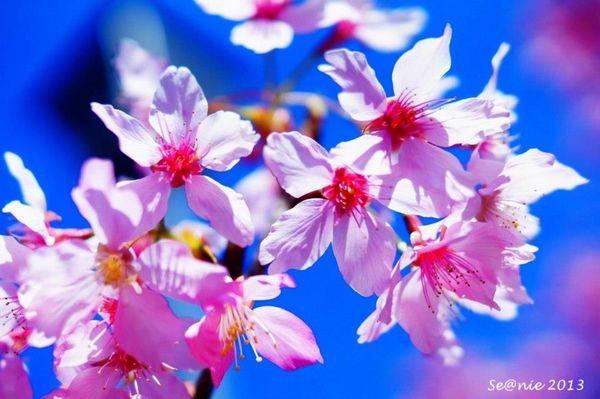 武陵櫻花5