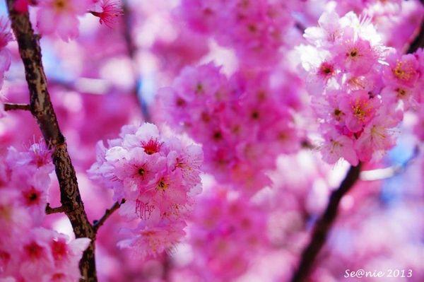 武陵櫻花8