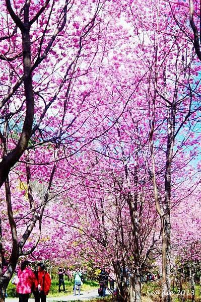 武陵櫻花7