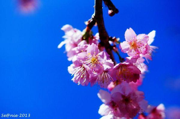武陵櫻花9