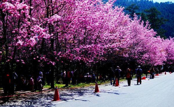 武陵櫻花10