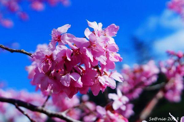 武陵櫻花20
