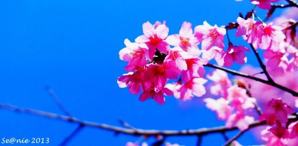武陵櫻花22