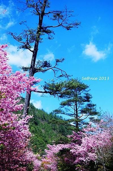 武陵櫻花23
