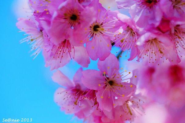 武陵櫻花25