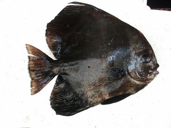 F燕魚 (640x480).jpg