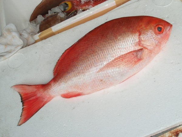 F紅雞魚 (2) (640x480).jpg